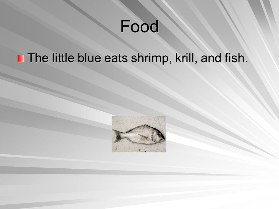 Food The little blue eats shrimp, krill, and fish.