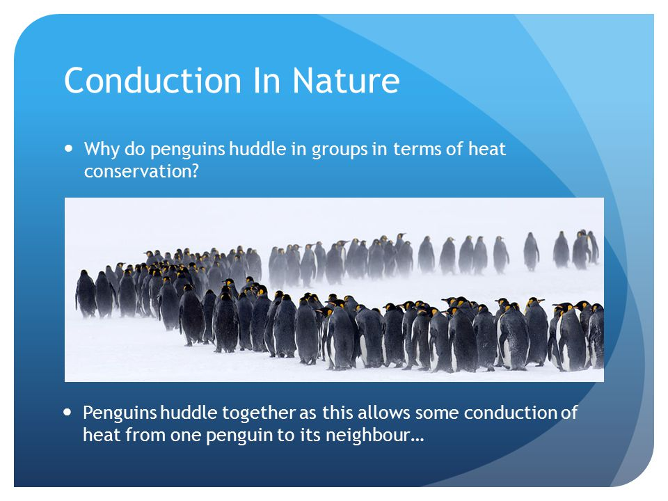 Conduction In Nature Why do penguins huddle in groups in terms of heat conservation.
