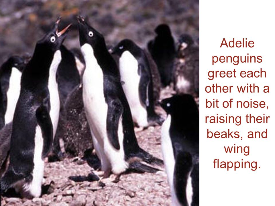 Adelie penguins greet each other with a bit of noise, raising their beaks, and wing flapping.