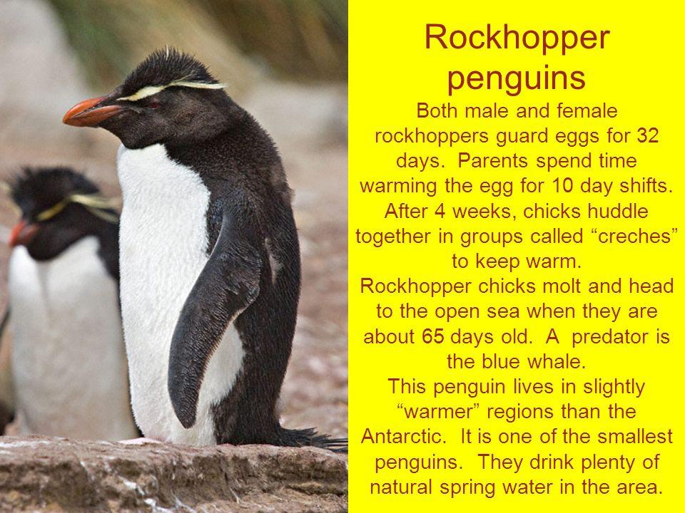 Rockhopper penguins Both male and female rockhoppers guard eggs for 32 days.