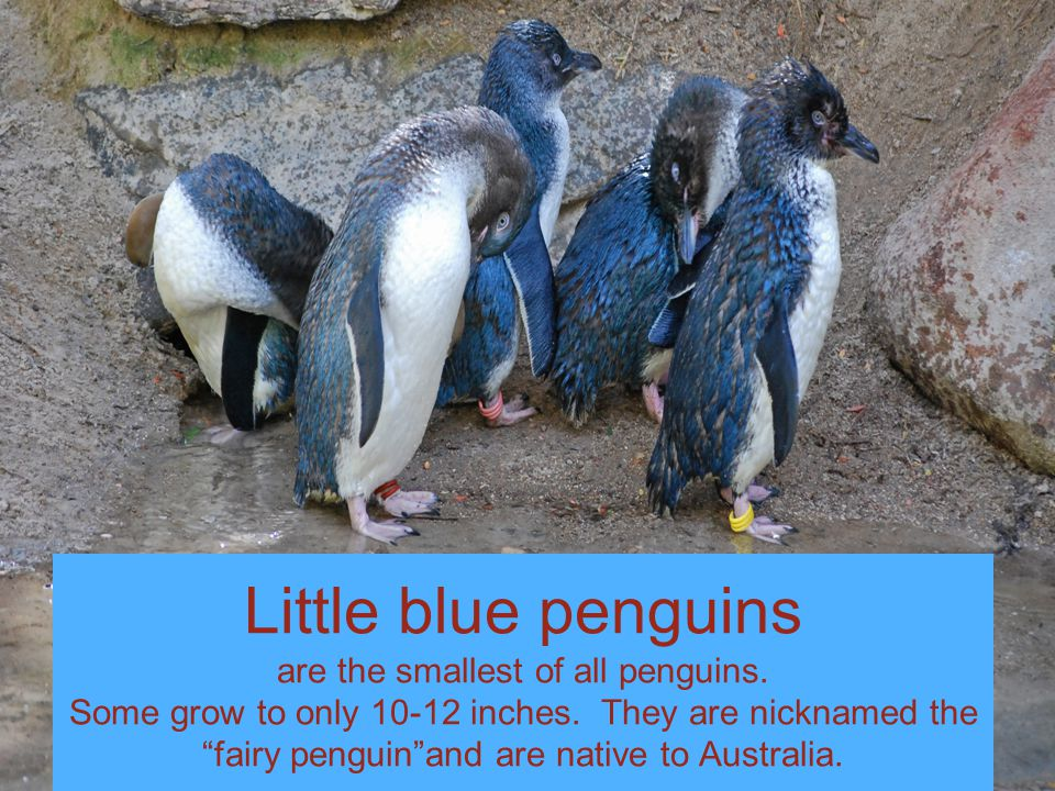 Little blue penguins are the smallest of all penguins.