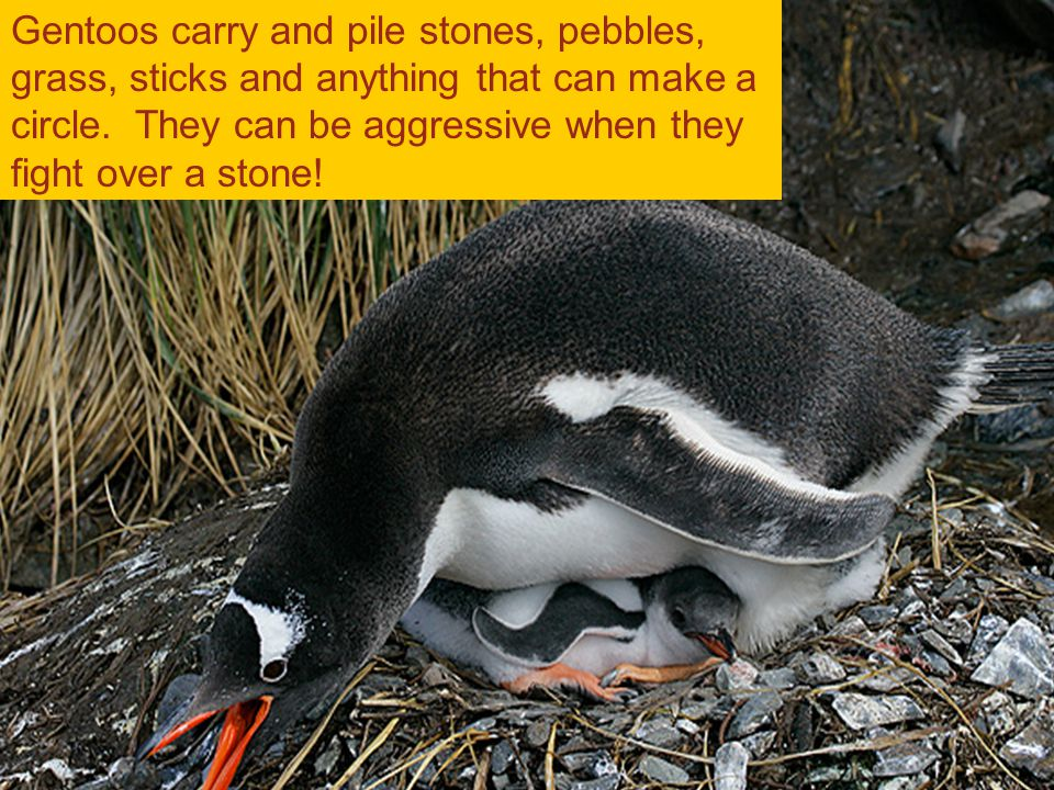 Gentoo penguins Gentoos carry and pile stones, pebbles, grass, sticks and anything that can make a circle.