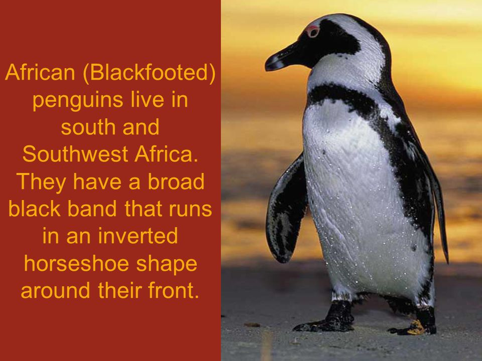 African (Blackfooted) penguins live in south and Southwest Africa.