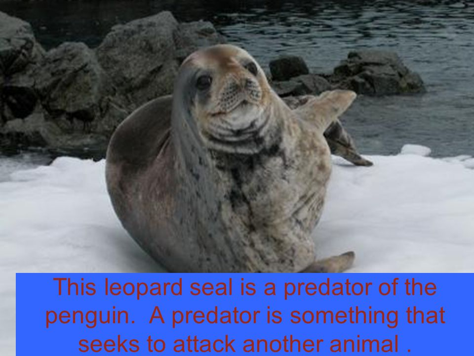 This leopard seal is a predator of the penguin.