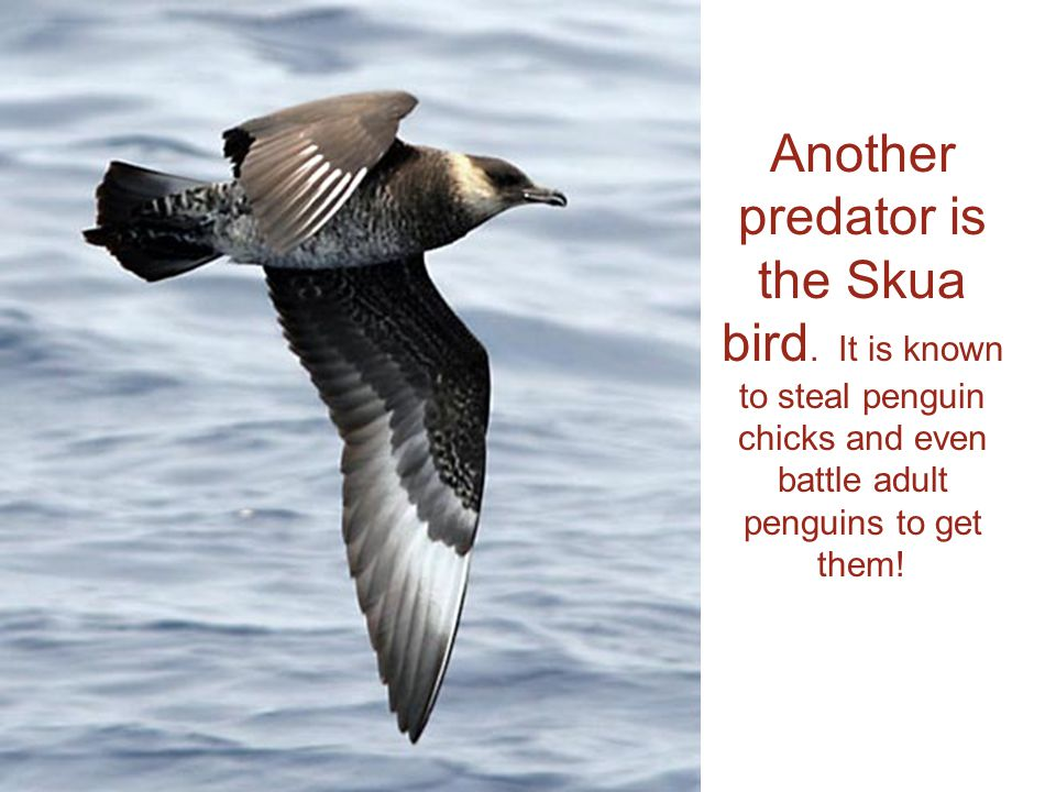 Another predator is the Skua bird.