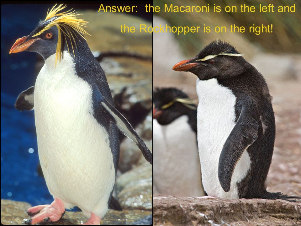 Answer: the Macaroni is on the left and the Rockhopper is on the right!