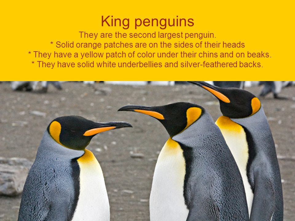 King penguins They are the second largest penguin.