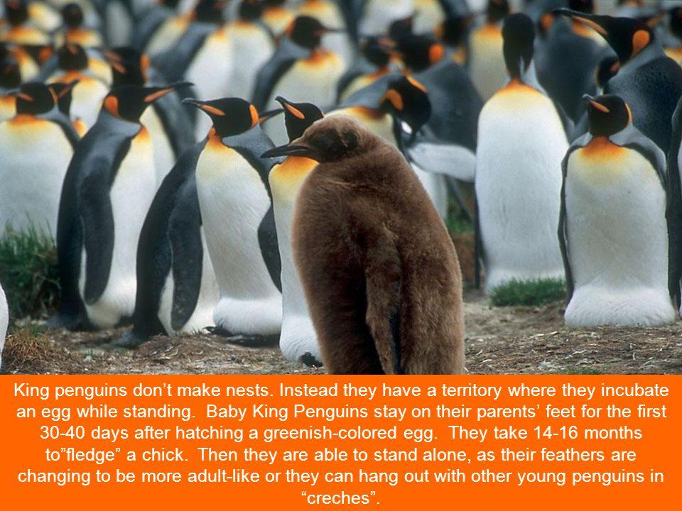 King penguins don't make nests.