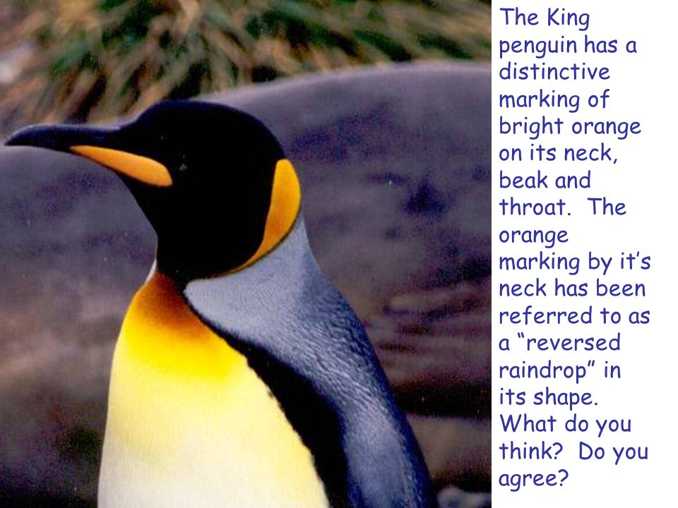 The King penguin has a distinctive marking of bright orange on its neck, beak and throat.