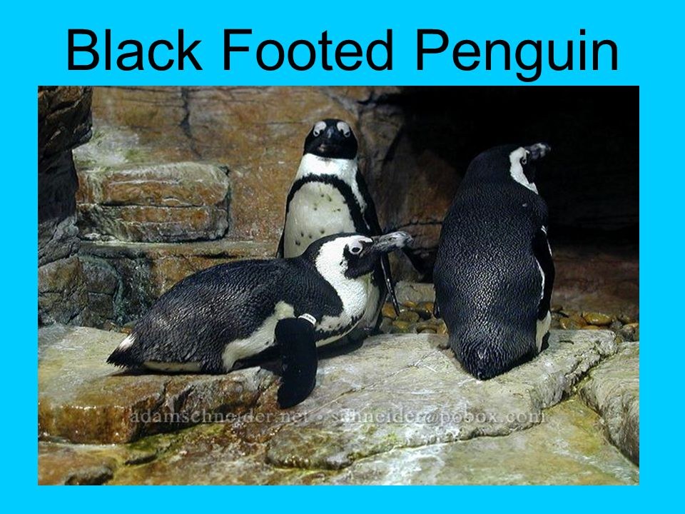 Black Footed Penguin Facts Black-footed Penguins weigh about 6.5 pounds and grow to height of 28 inches.