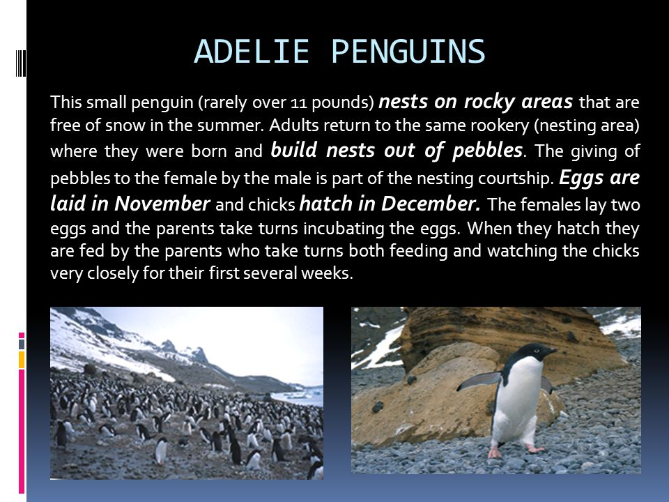 ADELIE PENGUINS This small penguin (rarely over 11 pounds) nests on rocky areas that are free of snow in the summer. Adults return to the same rookery