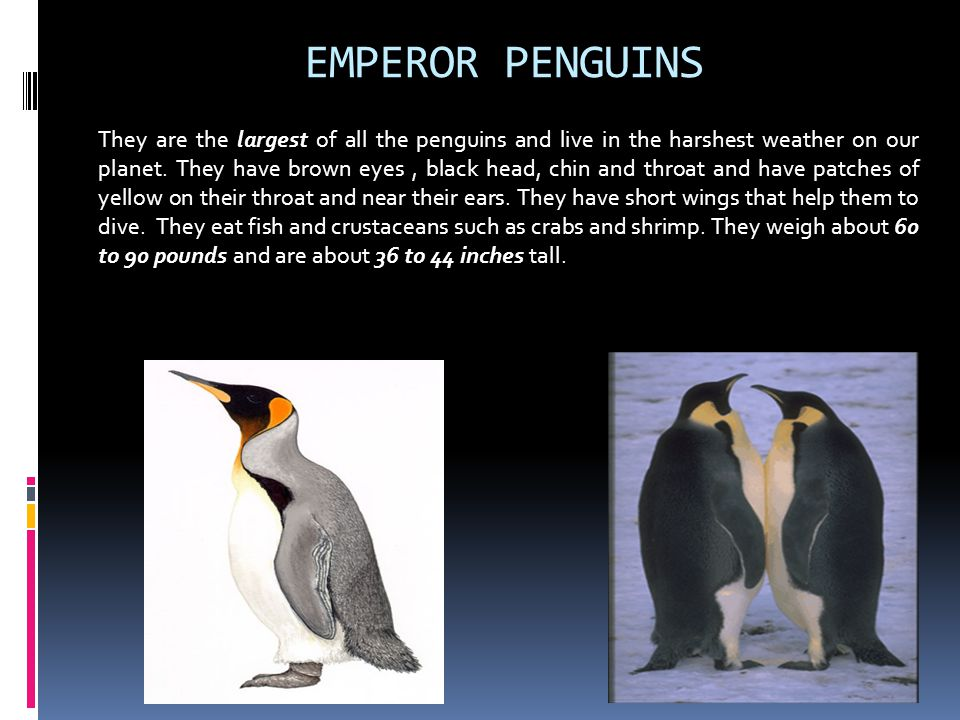 EMPEROR PENGUINS They are the largest of all the penguins and live in the harshest weather on our planet. They have brown eyes, black head, chin and t