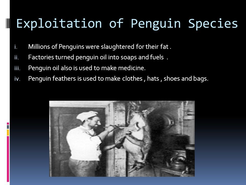 Exploitation of Penguin Species i. Millions of Penguins were slaughtered for their fat. ii. Factories turned penguin oil into soaps and fuels. iii. Pe
