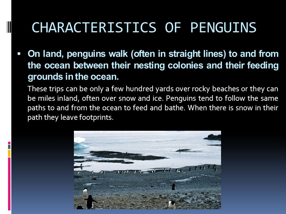 CHARACTERISTICS OF PENGUINS  On land, penguins walk (often in straight lines) to and from the ocean between their nesting colonies and their feeding