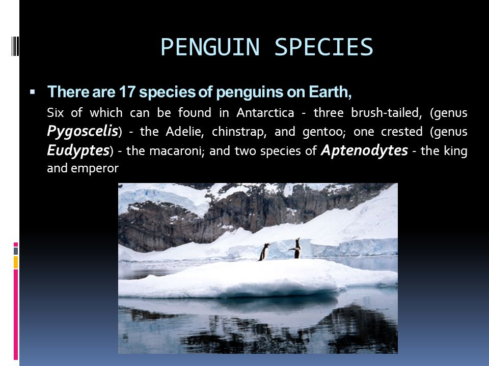 PENGUIN SPECIES  There are 17 species of penguins on Earth, Six of which can be found in Antarctica - three brush-tailed, (genus Pygoscelis ) - the A