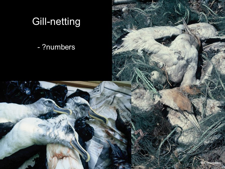 Gill-netting - numbers © R Greenaway