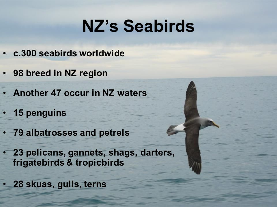NZ's Seabirds c.300 seabirds worldwide 98 breed in NZ region Another 47 occur in NZ waters 15 penguins 79 albatrosses and petrels 23 pelicans, gannets, shags, darters, frigatebirds & tropicbirds 28 skuas, gulls, terns © A Tennyson