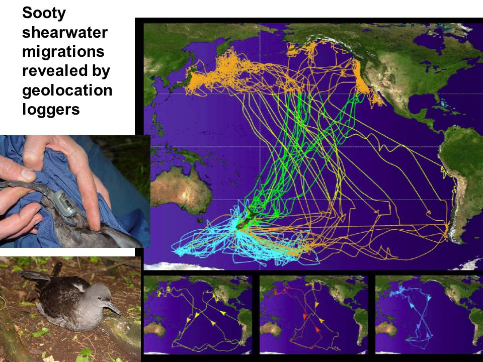 Sooty shearwater migrations revealed by geolocation loggers