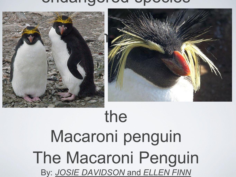 endangered species thema mac the Macaroni penguin The Macaroni Penguin By: JOSIE DAVIDSON and ELLEN FINN
