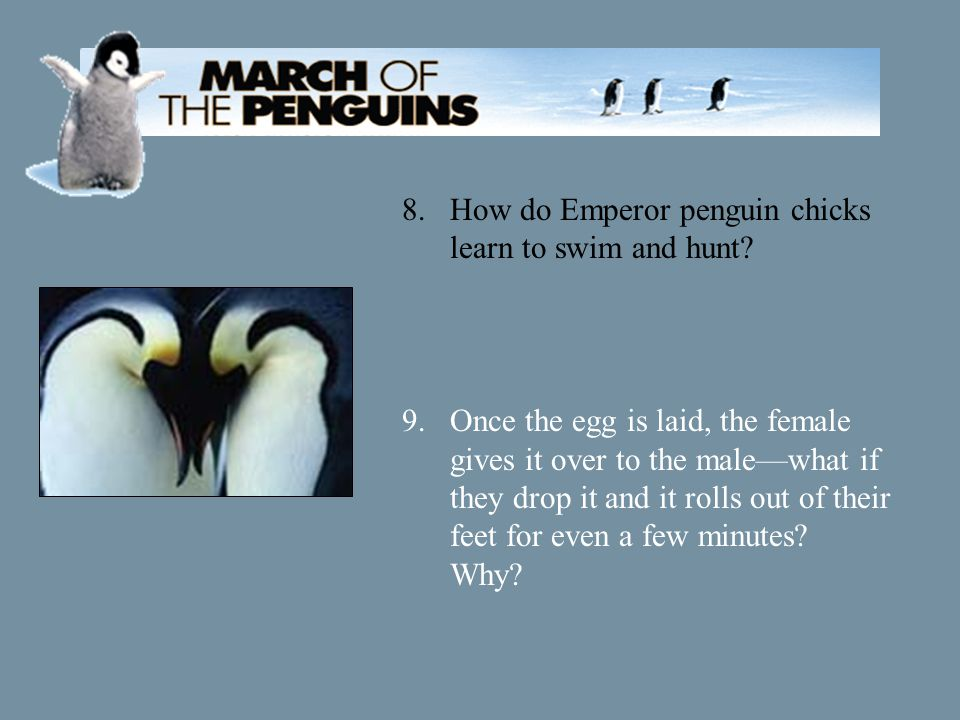8.How do Emperor penguin chicks learn to swim and hunt.