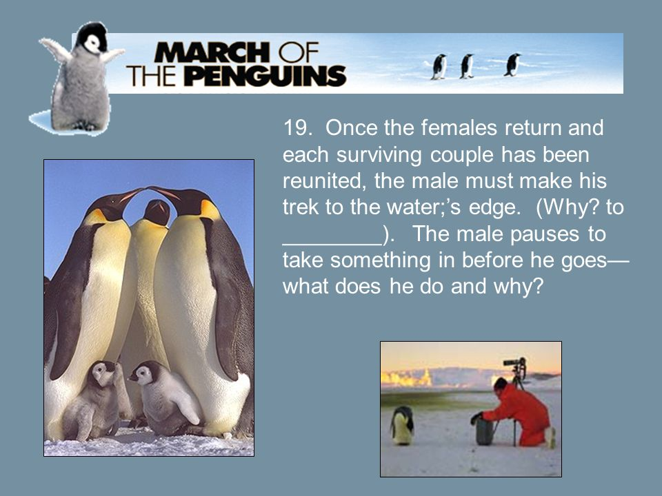 19. Once the females return and each surviving couple has been reunited, the male must make his trek to the water;'s edge. (Why? to ________). The mal