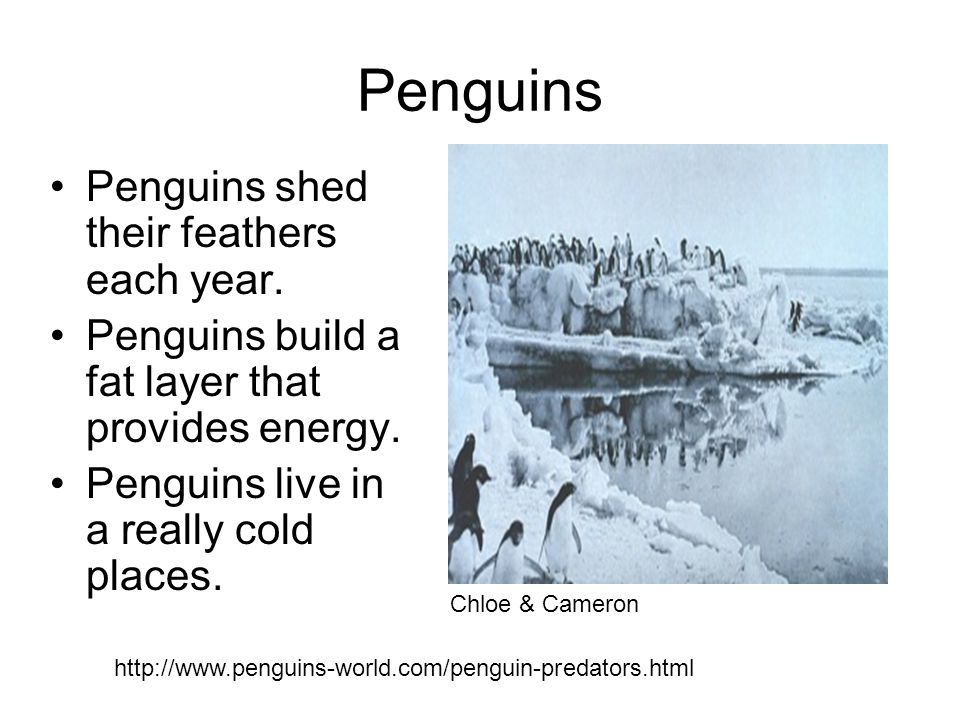Penguins Penguins shed their feathers each year. Penguins build a fat layer that provides energy.