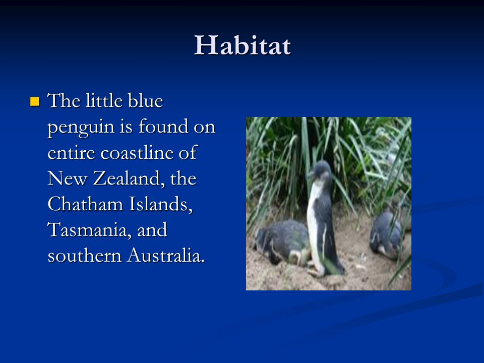 Habitat The little blue penguin is found on entire coastline of New Zealand, the Chatham Islands, Tasmania, and southern Australia.