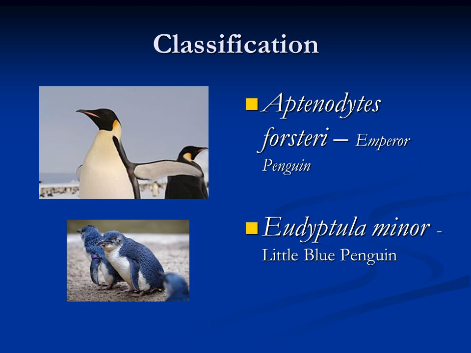 Physical Characteristics – Emperor Penguin Adult Average – 3 feet 7 inches tall Adult Average – 3 feet 7 inches tall The adult has deep black feathers and a white belly from the upper breast down and on the under parts of the wings The adult has deep black feathers and a white belly from the upper breast down and on the under parts of the wings Emperor Penguin chicks are covered with silver- gray down with a black head and white eye and cheek patches Emperor Penguin chicks are covered with silver- gray down with a black head and white eye and cheek patches
