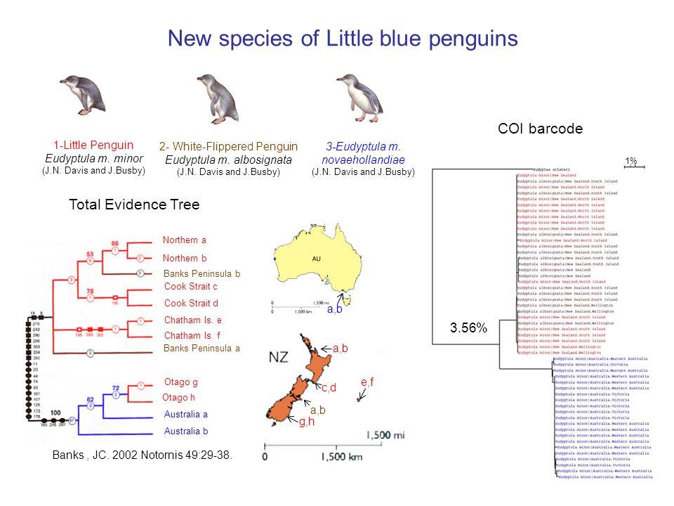 2- White-Flippered Penguin Eudyptula m. albosignata (J.N.