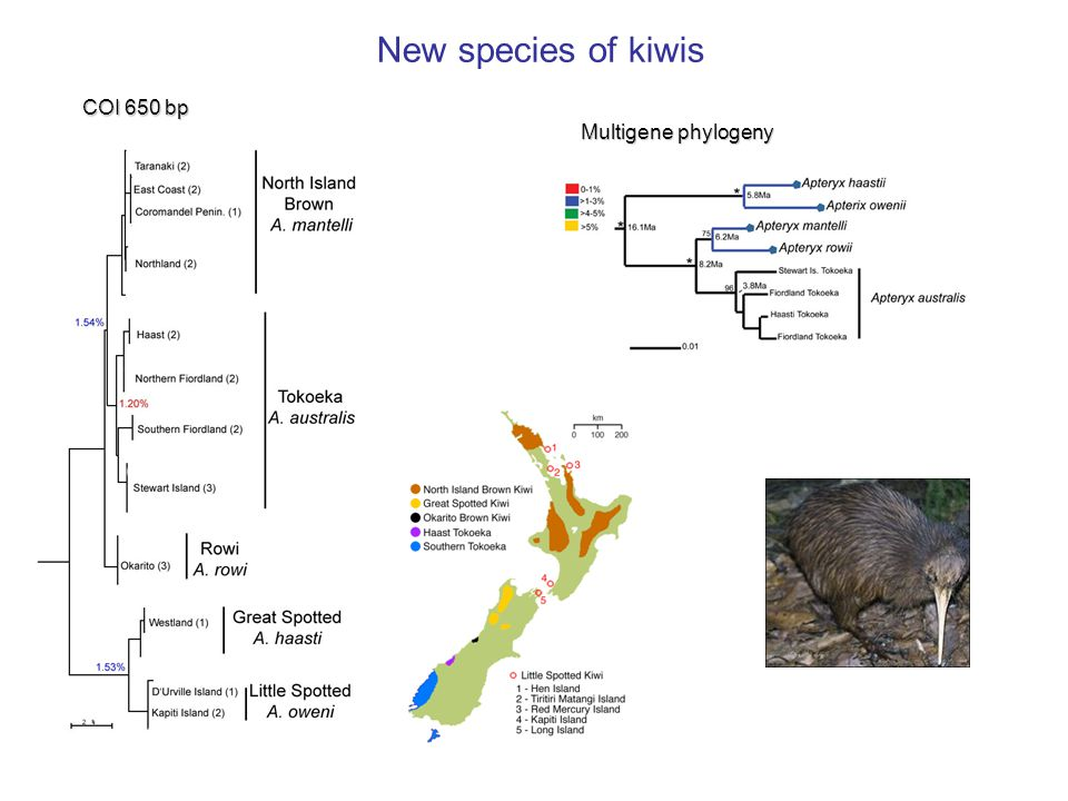New species of kiwis COI 650 bp Multigene phylogeny