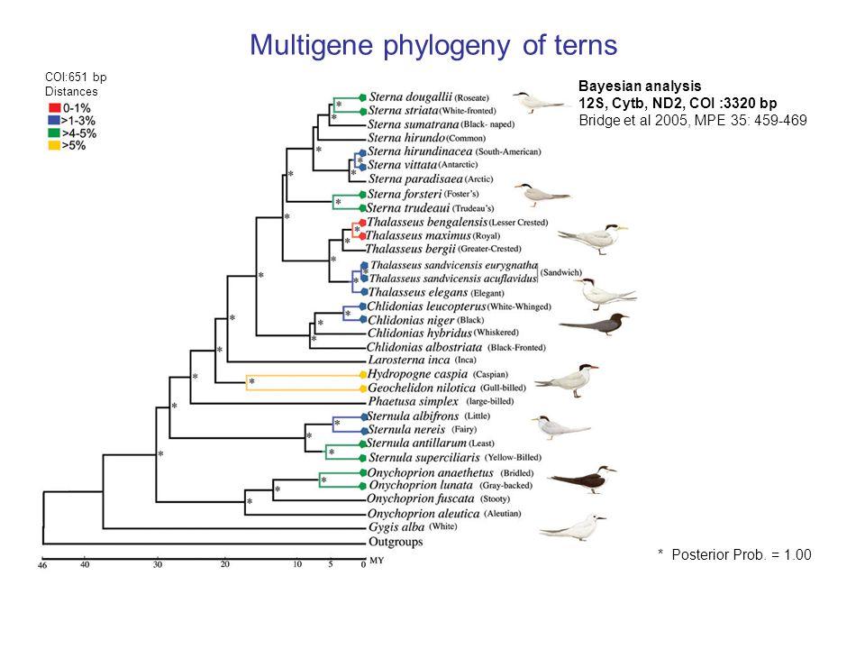 Multigene phylogeny of terns * Posterior Prob.