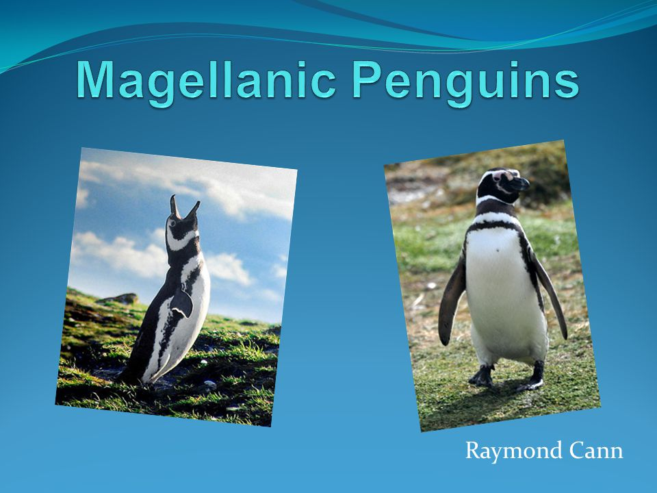 Behavior Magellanic penguins are considered aggressive and can inflict a hard bite.