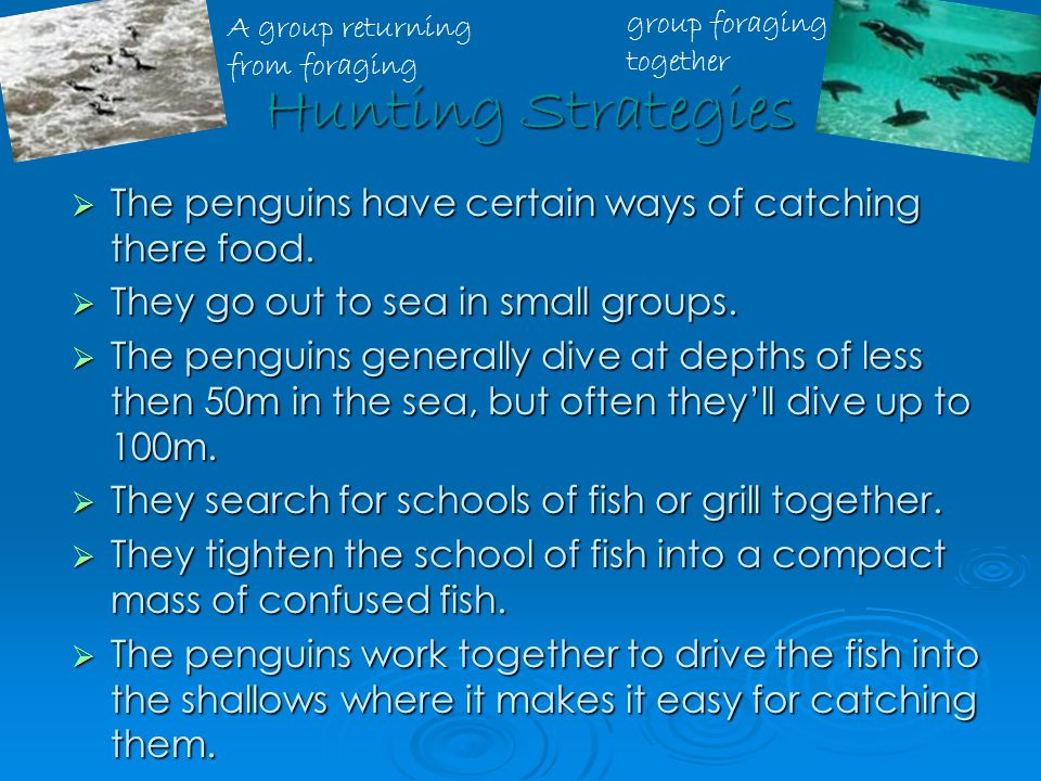 Hunting Strategies Hunting Strategies  The penguins have certain ways of catching there food.