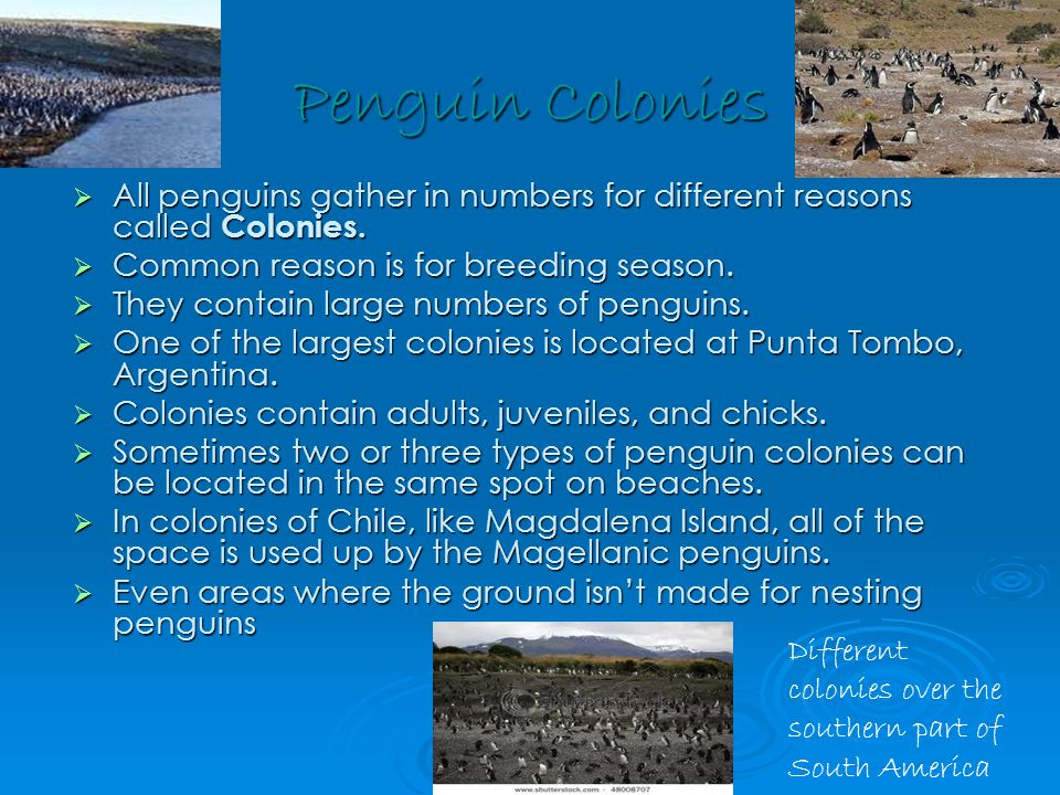 Penguin Colonies  All penguins gather in numbers for different reasons called Colonies.