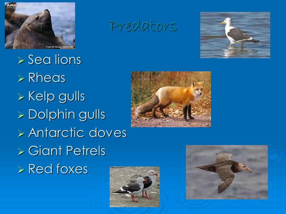 Predators  Sea lions  Rheas  Kelp gulls  Dolphin gulls  Antarctic doves  Giant Petrels  Red foxes