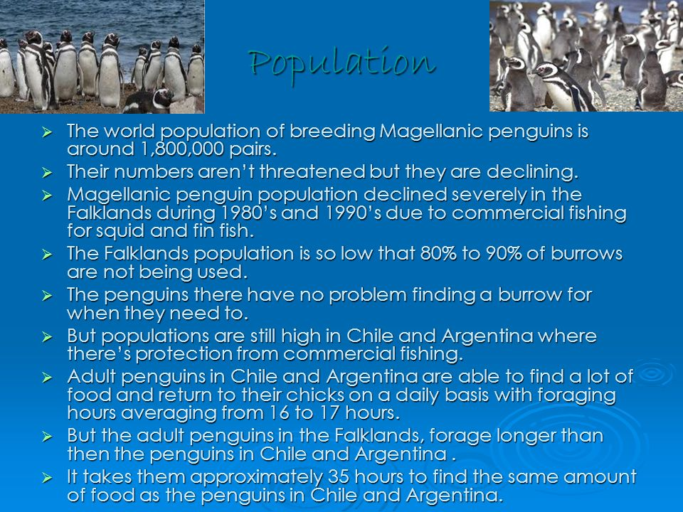 Population  The world population of breeding Magellanic penguins is around 1,800,000 pairs.