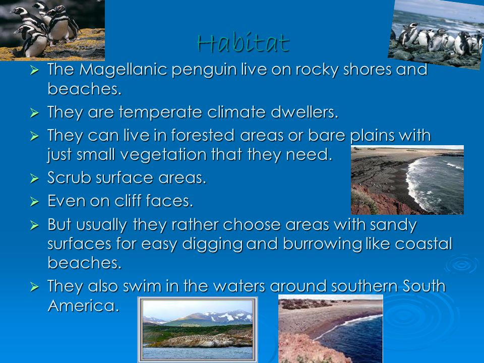 Habitat  The Magellanic penguin live on rocky shores and beaches.