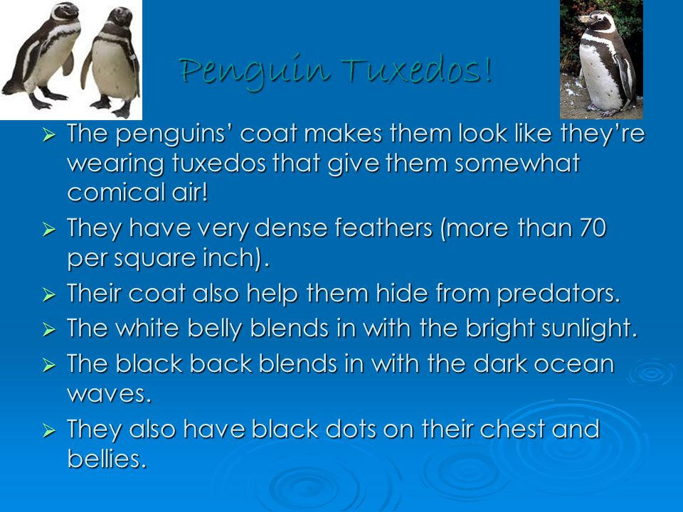 Penguin Tuxedos!  The penguins' coat makes them look like they're wearing tuxedos that give them somewhat comical air!  They have very dense feather