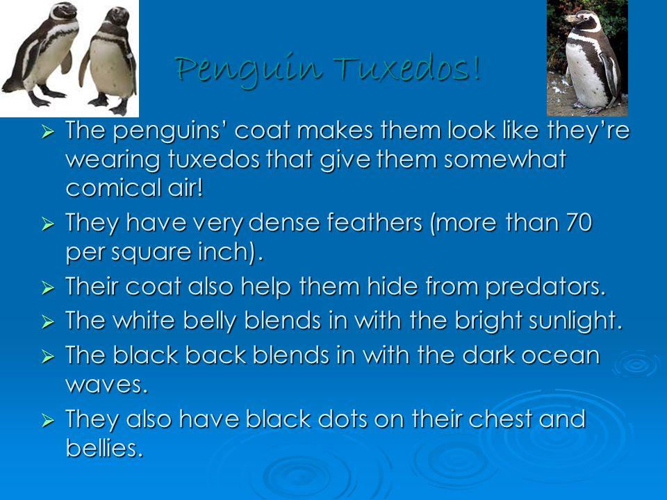 Population  The world population of breeding Magellanic penguins is around 1,800,000 pairs.