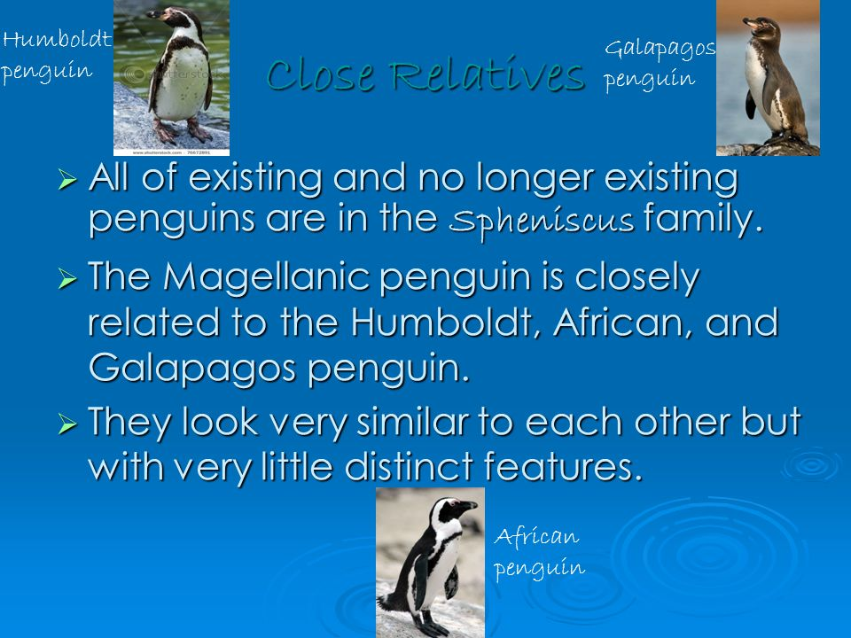 Diet  Their diet is like most of other penguins which consists of small fish like sardines and cuttlefish, squids, and other crustaceans.