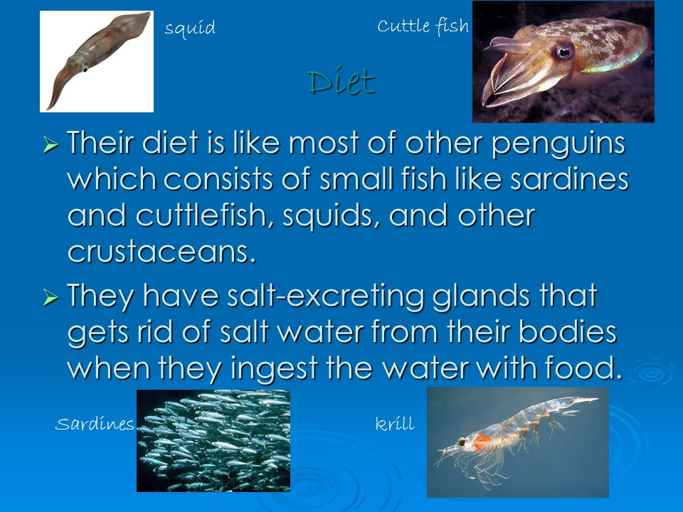 Diet  Their diet is like most of other penguins which consists of small fish like sardines and cuttlefish, squids, and other crustaceans.
