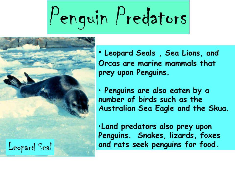 Penguin Predators Leopard Seal Leopard Seals, Sea Lions, and Orcas are marine mammals that prey upon Penguins.