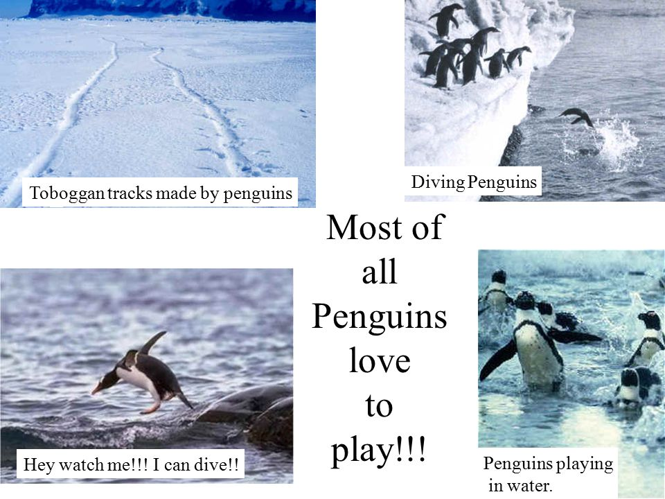 Most of all Penguins love to play!!. Diving Penguins Penguins playing in water.