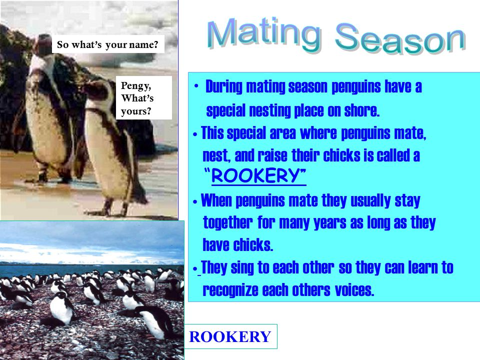 During mating season penguins have a special nesting place on shore.