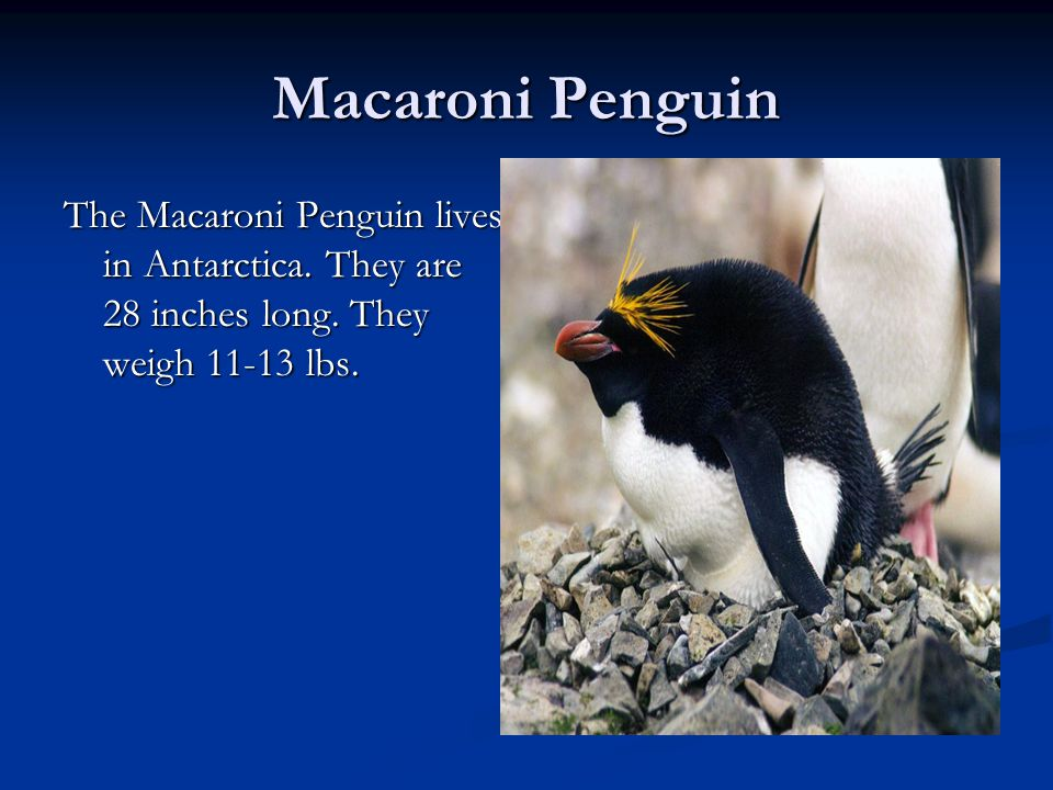 Macaroni Penguin The Macaroni Penguin lives in Antarctica.