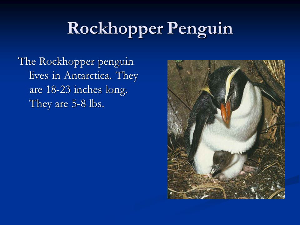 Rockhopper Penguin The Rockhopper penguin lives in Antarctica.
