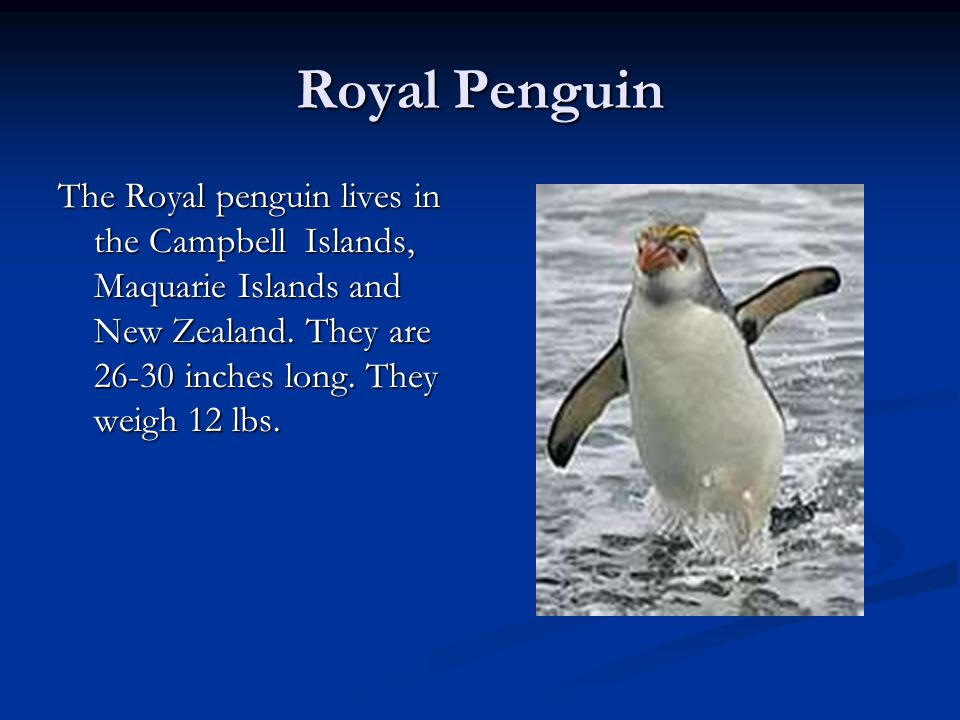 Royal Penguin The Royal penguin lives in the Campbell Islands, Maquarie Islands and New Zealand.
