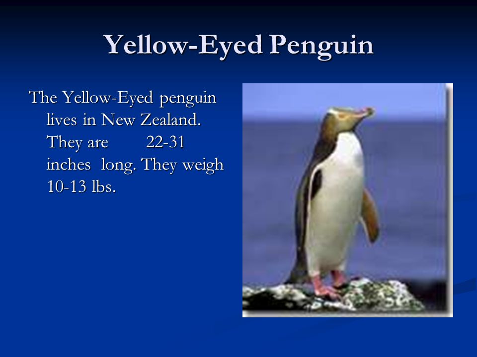 Yellow-Eyed Penguin The Yellow-Eyed penguin lives in New Zealand.