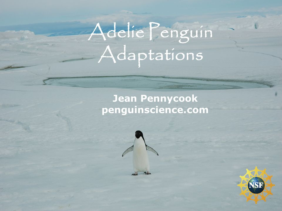 Jean Pennycook penguinscience.com Adelie Penguin Adaptations