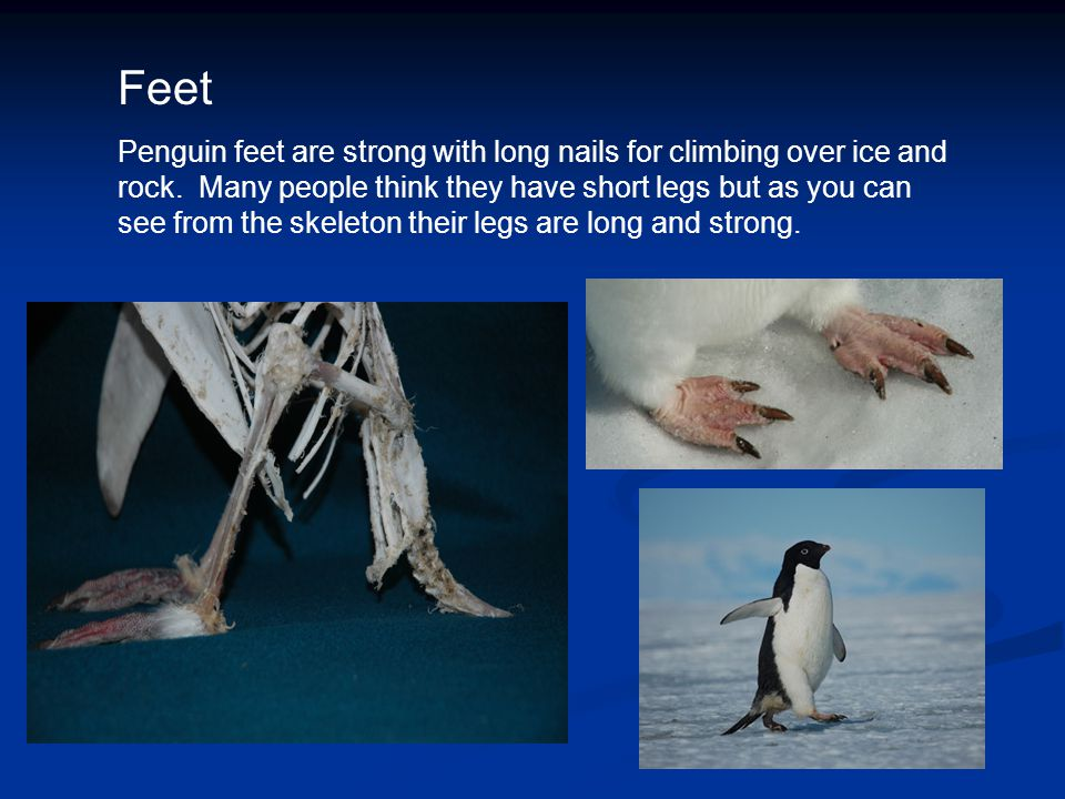Feet Penguin feet are strong with long nails for climbing over ice and rock. Many people think they have short legs but as you can see from the skelet